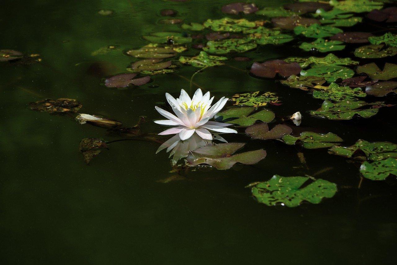 Wasser Teich Wasserlilie