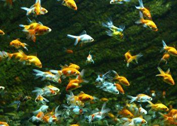Tiere im Teich | Fische im Gartenteich bestimmen & ansiedeln